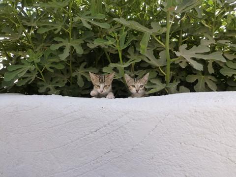 世界の猫 写真館 ギリシャ サントリーニ島_e0237625_2114055.jpg