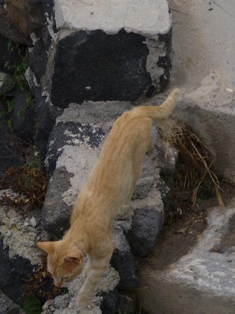 世界の猫 写真館 ギリシャ サントリーニ島_e0237625_2151598.jpg