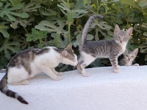 世界の猫 写真館 ギリシャ サントリーニ島_e0237625_21524433.jpg