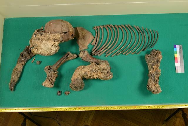 マンモスの赤ちゃん骨格標本  Yuka展_f0050534_9363819.jpg
