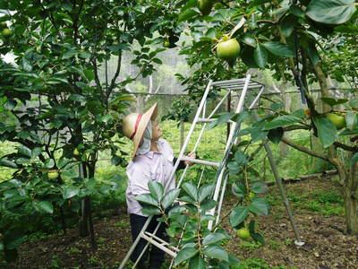 太秋柿 古川果樹園 手ばかけてやるだけ、やっぱりうま~か太秋柿のでくっとたい!その2_a0254656_16502898.jpg