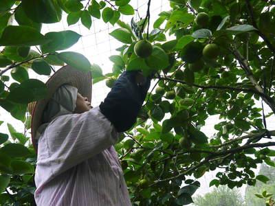 太秋柿 古川果樹園 手ばかけてやるだけ、やっぱりうま~か太秋柿のでくっとたい!その2_a0254656_1657727.jpg
