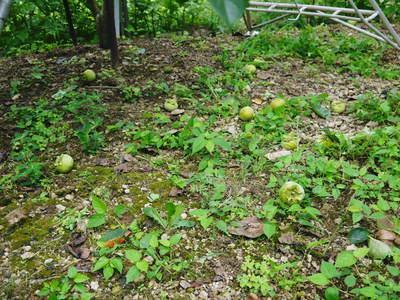 太秋柿 古川果樹園 手ばかけてやるだけ、やっぱりうま~か太秋柿のでくっとたい!その2_a0254656_1701632.jpg