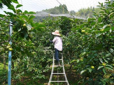 太秋柿 古川果樹園 手ばかけてやるだけ、やっぱりうま~か太秋柿のでくっとたい!その2_a0254656_17243780.jpg