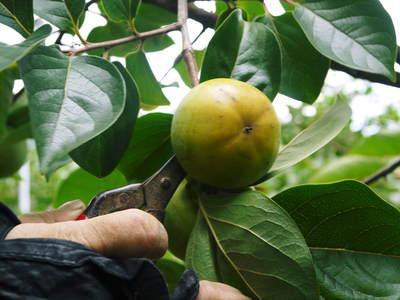 太秋柿 古川果樹園 手ばかけてやるだけ、やっぱりうま~か太秋柿のでくっとたい!その2_a0254656_1727922.jpg