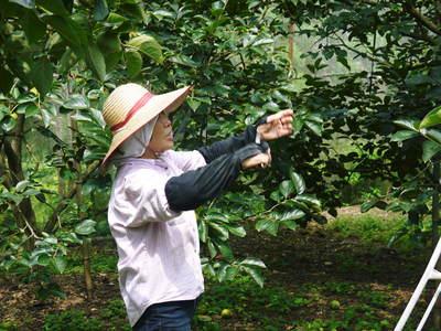 太秋柿 古川果樹園 手ばかけてやるだけ、やっぱりうま~か太秋柿のでくっとたい!その2_a0254656_1730952.jpg
