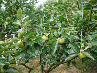 太秋柿 古川果樹園 手ばかけてやるだけ、やっぱりうま~か太秋柿のでくっとたい!その2_a0254656_17365423.jpg