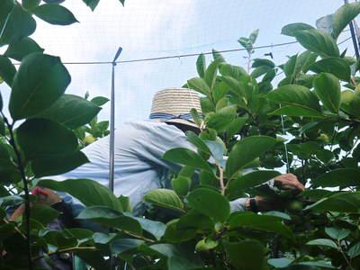 太秋柿 古川果樹園 手ばかけてやるだけ、やっぱりうま~か太秋柿のでくっとたい!その2_a0254656_17541683.jpg