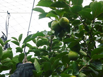 太秋柿 古川果樹園 手ばかけてやるだけ、やっぱりうま~か太秋柿のでくっとたい!その2_a0254656_176473.jpg
