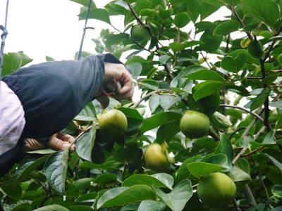 太秋柿 古川果樹園 手ばかけてやるだけ、やっぱりうま~か太秋柿のでくっとたい!その2_a0254656_1791244.jpg