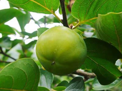 太秋柿 古川果樹園 手ばかけてやるだけ、やっぱりうま~か太秋柿のでくっとたい!その2_a0254656_1825175.jpg