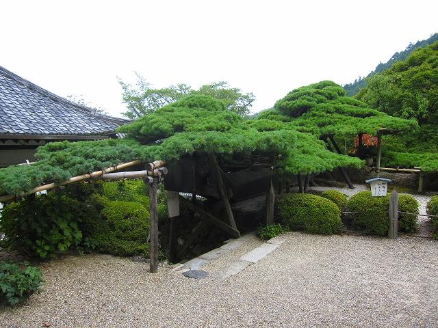西山宮門跡『善峰寺』は日本一の松(天然記念物)_e0237645_97288.jpg