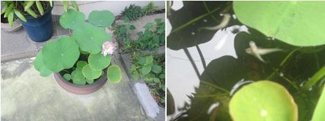 蓮の花が咲いた!_d0183174_9183030.jpg