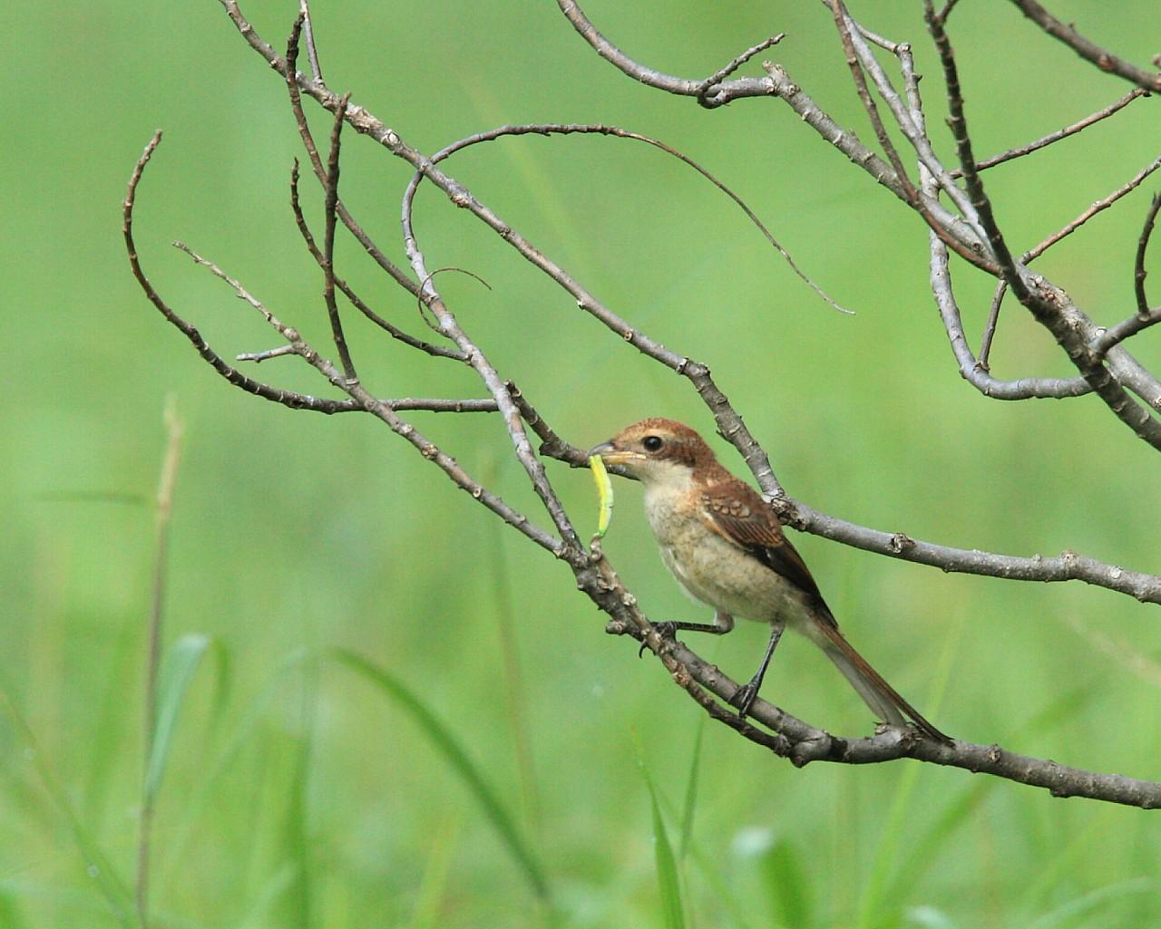 先週の高原の成果: 青虫を捕ったモズ幼鳥_f0105570_2111759.jpg