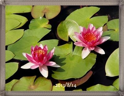 モネの庭の睡蓮_c0026824_18304263.jpg