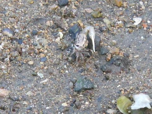 そして、呉の堺川でもハクセンシオマネキを発見した!_e0175370_8445076.jpg