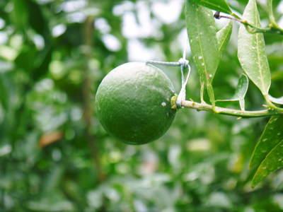 幻の柑橘「せとか」 悲願の販売に向け順調に成長中!!_a0254656_17163335.jpg