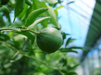 幻の柑橘「せとか」 悲願の販売に向け順調に成長中!!_a0254656_17542180.jpg