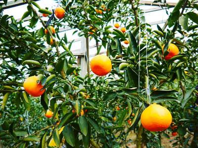 幻の柑橘「せとか」 悲願の販売に向け順調に成長中!!_a0254656_18252892.jpg