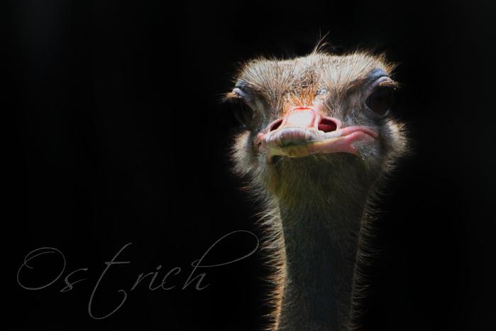 ダチョウ:Ostrich_b0249597_5245125.jpg