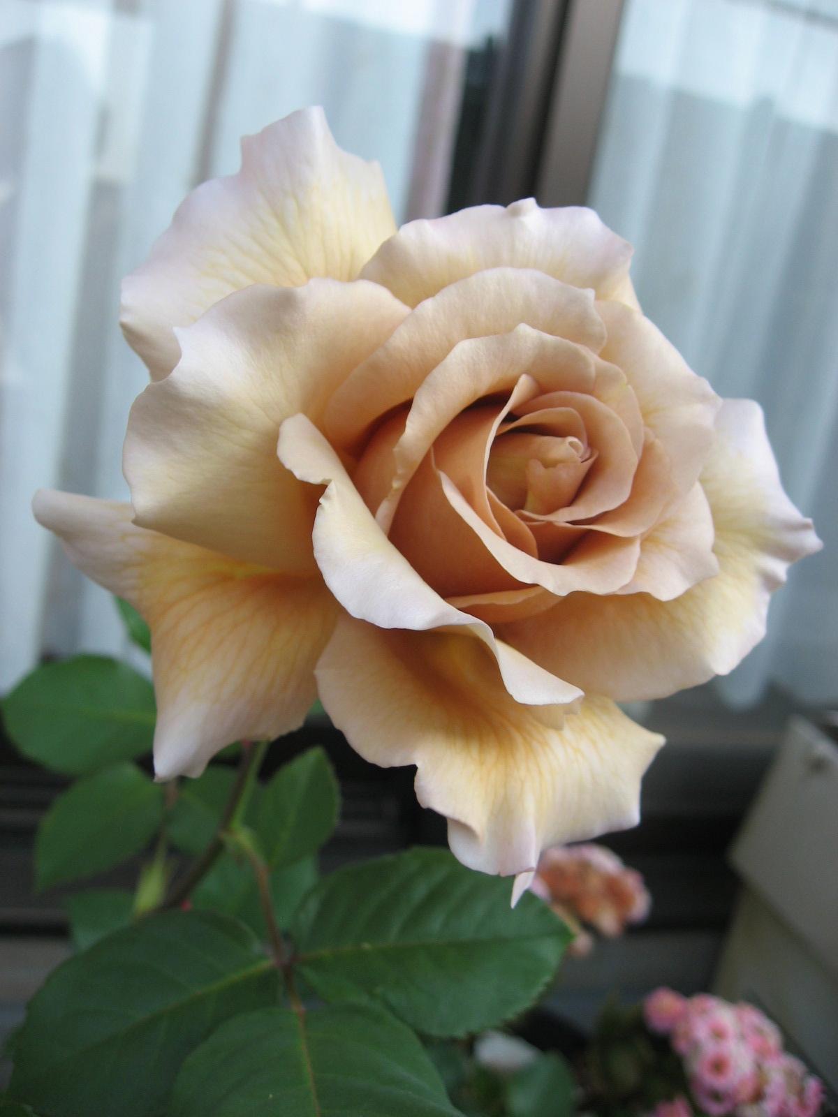 バラ大好き!_f0037905_828491.jpg