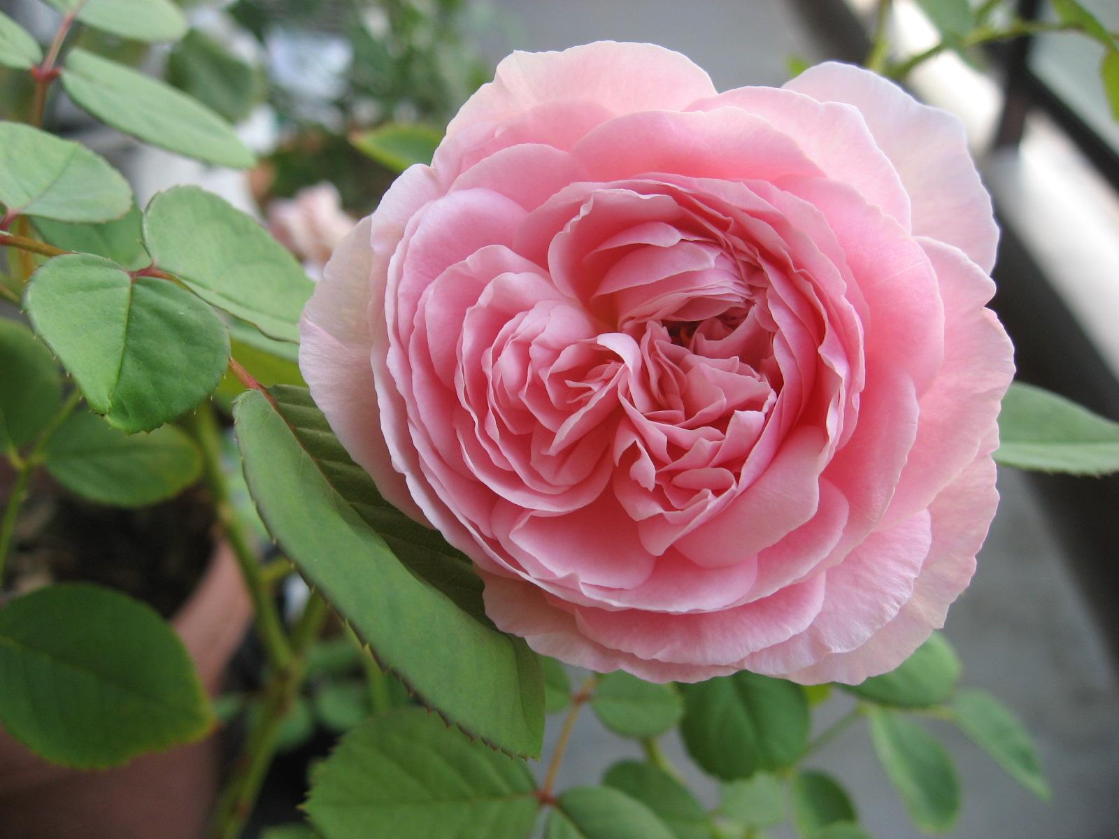 バラ大好き!_f0037905_8383845.jpg