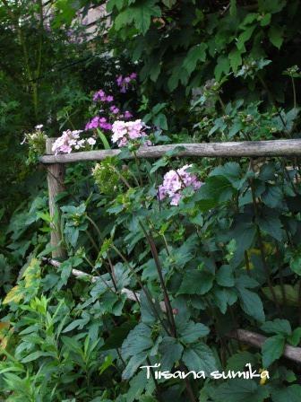 秋明菊の蕾がパンパン♪_a0243064_6583434.jpg