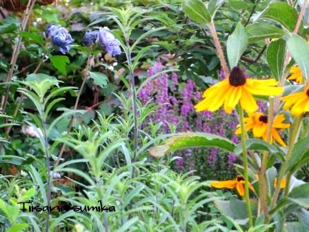 秋明菊の蕾がパンパン♪_a0243064_7402390.jpg