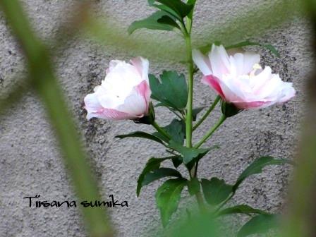 秋明菊の蕾がパンパン♪_a0243064_743219.jpg