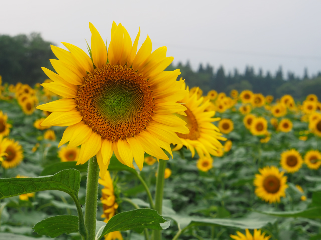 故郷の風景 向日葵畑_f0024992_17263413.jpg