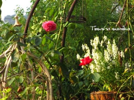残暑に咲く花たち♪_a0243064_828790.jpg