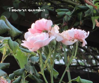 残暑に咲く花たち♪_a0243064_8291427.jpg