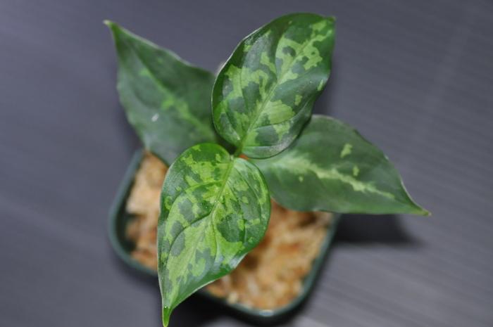 """Aglaonema Pictum bicolor""""Siberut2,5"""" #1_e0213248_23132450.jpg"""