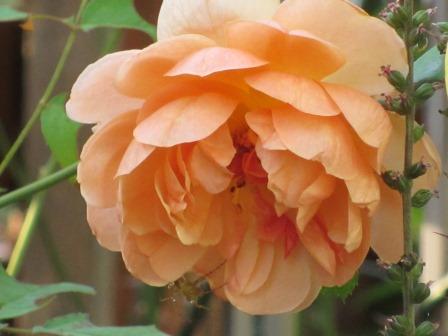秋明菊が咲き出しました~_a0243064_737977.jpg