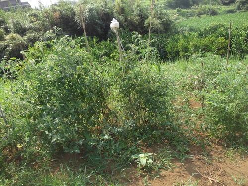 自然発芽の苗は....不作です。_b0137932_9202571.jpg