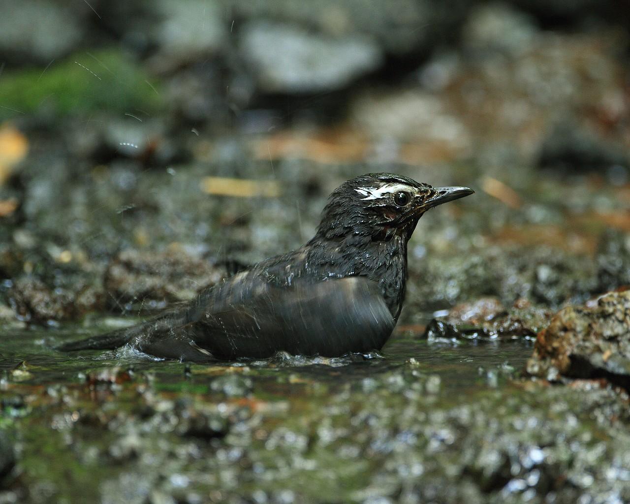 涼しげな野鳥の水浴び_f0105570_21321266.jpg