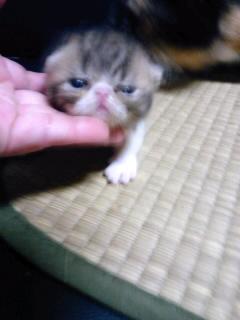 エキゾ子猫_e0033609_0453443.jpg