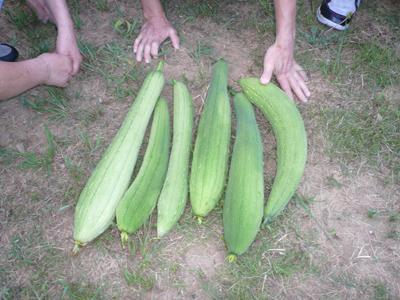 8/21ヘチマの収穫☆_a0154110_1323984.jpg