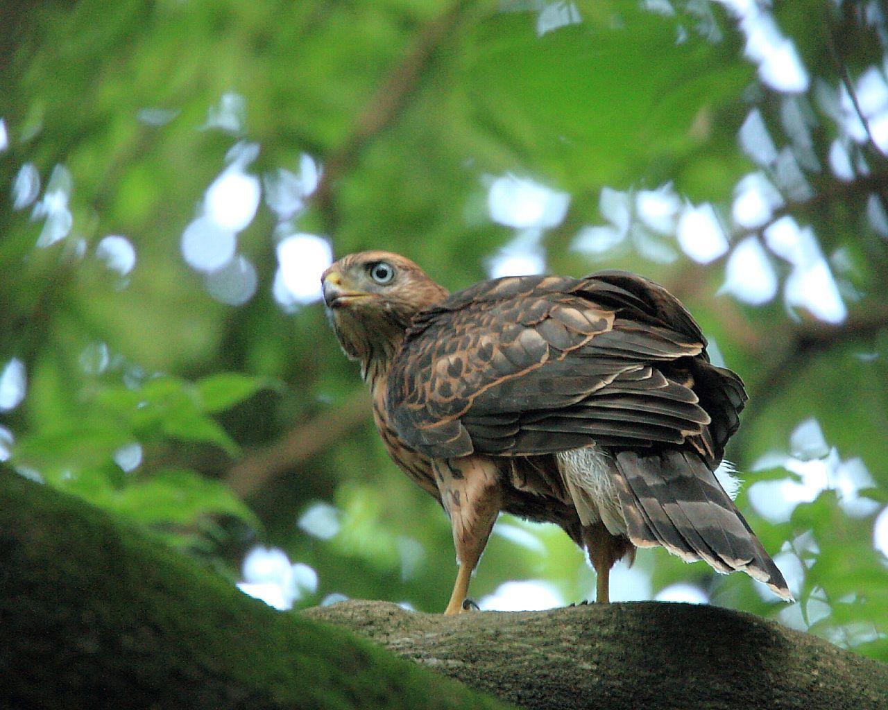 オオタカ幼鳥の見返り_f0105570_21245358.jpg