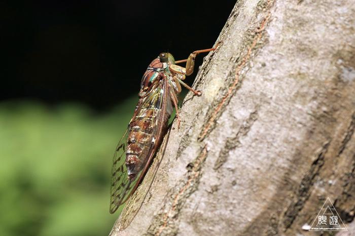 344 野呂山北部 ~ヒグラシの体内をむさぼる寄生虫~_c0211532_043124.jpg