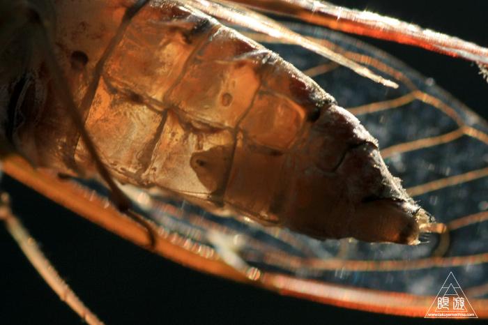 344 野呂山北部 ~ヒグラシの体内をむさぼる寄生虫~_c0211532_0453310.jpg