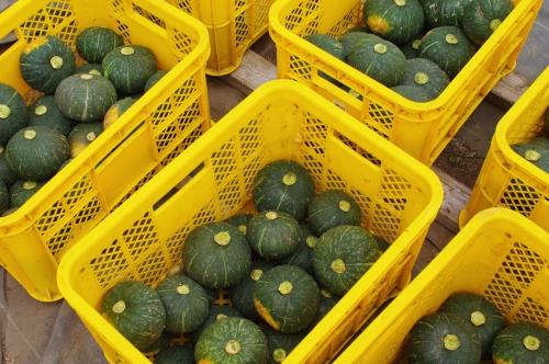 ミニカボチャの収穫_c0110869_1505127.jpg