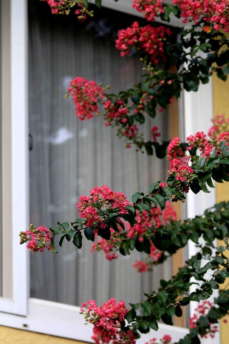 窓に伸びてきた百日紅の花_a0107574_1572231.jpg