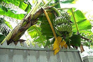 塀とバナナ_d0113490_2293310.jpg