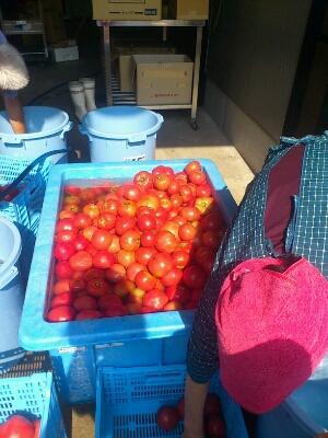 毎日トマト!!!_b0152504_1073855.jpg