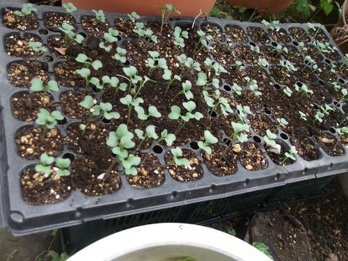 暑さで野菜の苗が徒長しています。_b0137932_20472142.jpg