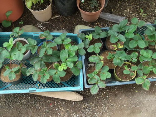 暑さで野菜の苗が徒長しています。_b0137932_20482210.jpg