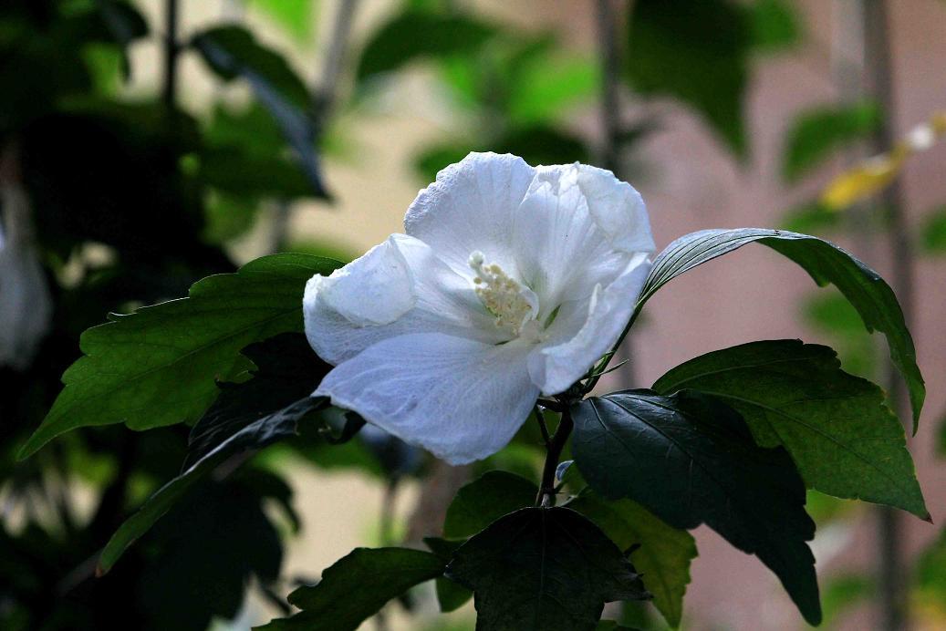 ムクゲの真っ白な花_a0107574_19521875.jpg