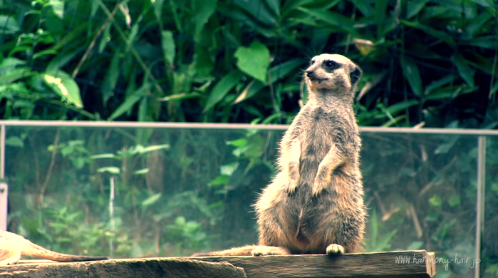 (動画あり)ミーアキャット 千葉市動物公園 _c0222817_1318532.png