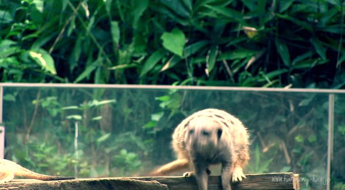(動画あり)ミーアキャット 千葉市動物公園 _c0222817_13195617.png